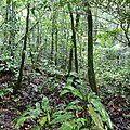 Araceae (Spathiphyllum humboldtii) in secondary forest ... (39918444252).jpg