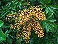 Araliaceae Umbrella tree IMG 7102 (2076611881).jpg