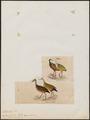 Aramides cayanea - 1820-1863 - Print - Iconographia Zoologica - Special Collections University of Amsterdam - UBA01 IZ17500035.tif