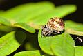 Araneus rotundulus (14332227908).jpg