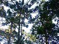 Araucaria angustifolia (Bertol.) Kuntze.jpg