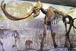"Columbian mammoth - One of the largest mounted mammoth skeletons in the world, nicknamed ""Archie"", at Nebraska State Museum of Natural History. It is the type specimen of the synonym Archidiskodon imperator maibeni"