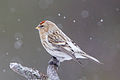 Arctic Redpoll (Acanthis hornemanni) (13667519855).jpg