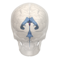 Areas of 3rd ventricle - 03.png