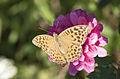 Argynnis paphia - Cengaver 03.jpg