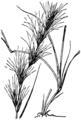 Aristida adscensionis HC-1950.png