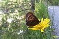 Arran brown (Plansee) (24016241093).jpg