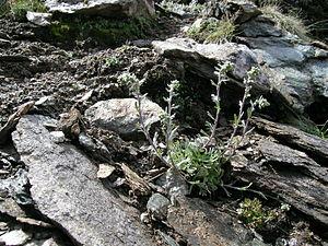 Spotted rue (Artemisia genipi), habitus in the habitat