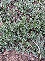 Artemisia princeps 3.jpg