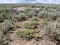 Artemisia spinescens (3765908220).jpg