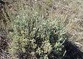 Artemisia tridentata kz06.jpg