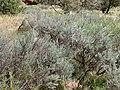 Artemisia tridentata kz21.jpg