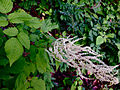 Aruncus dioicus - Bride's Feathers 2.jpg