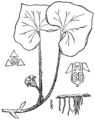 Asarum canadense-linedrawing1.png