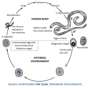 Ascaris lumbricoides life cycle.tif