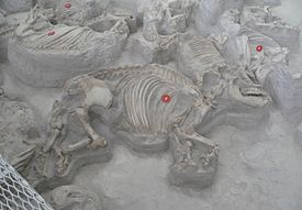 Ashfall Fossil Beds - Teleoceras female and calf.jpg