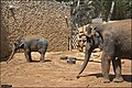 Asian-Elephant-Jerusalem-Jerusalem-Biblical-Zoo-IZE-320.jpg