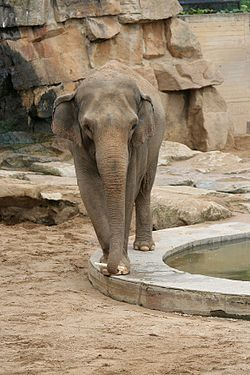 Asian Elephant Prague Zoo.jpg