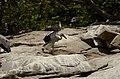 Asian openbill stork (Anastomus oscitans) from Ranganathittu Bird Sanctuary JEG4033.JPG
