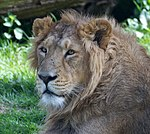 Asiatic Lion 2 (8682594469).jpg