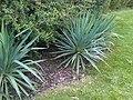 Asparagales - Yucca sp. - 2.jpg