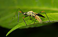 Assassin bug from Ecuador (17443756035).jpg