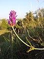 Astragalus onobrychis sl11.jpg