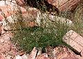 Astragalus remotus 14.jpg