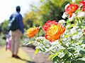 At the rose garden. バラ園にて (15381884488).jpg