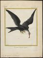 Atagen aquilus - 1700-1880 - Print - Iconographia Zoologica - Special Collections University of Amsterdam - UBA01 IZ18000183.tif