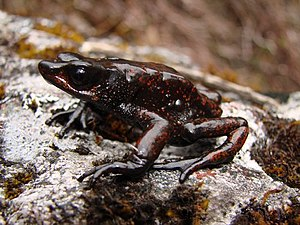 Santa Marta montane forests - Guajira stubfoot toad (Atelopus carrikeri)