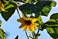 Atlas roslin pl Słonecznik zwyczajny 2917 7117.jpg