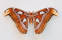 Attacus atlas qtl1.jpg