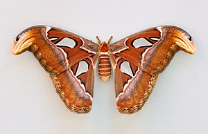 Гёбелеккени тишиси Attacus atlas
