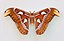 Attacus atlas qtl1.jpg