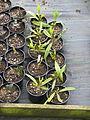 Aucuba himalaica dolichophylla (16712994483).jpg