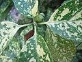 Aucuba japonica 'crotonifolia' 02.jpg