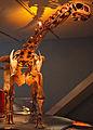 August 1, 2012 - Malawisaurus on Display at the Royal Ontario Museum.jpg