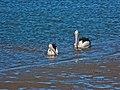 Australian pelican Schultz Canal Nudgee Beach Bramble Bay Queensland P1380132.jpg
