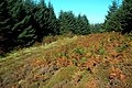 Autumn Colours In Almont Forest - geograph.org.uk - 1492489.jpg