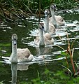 Autumn Cygnets. Ouse Valley Park. - panoramio.jpg