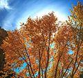 Autumn colours in SW Utah - spectacular colours along Huntington Creek on Hwy 31, Utah (15467319279).jpg