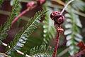 Autumn fern (Dryopteris erythrosora) (17041268651).jpg