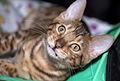 BEN Bengalian kitten (4493173026).jpg