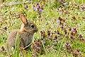 Baby Bunny - RSPB Sandy (33737115750).jpg