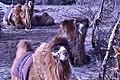 Bactrian Camels resting.jpg