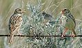 Bairds Sparrow From The Crossley ID Guide Eastern Birds.jpg
