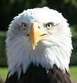 Bald Eagle Head 2 (1225541248).jpg
