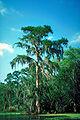 Bald cypress Atchafalaya Basin.jpg