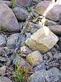 Baldellia ranunculoides Habitus 2012-6-22 RioMontoro SierraMadrona.jpg